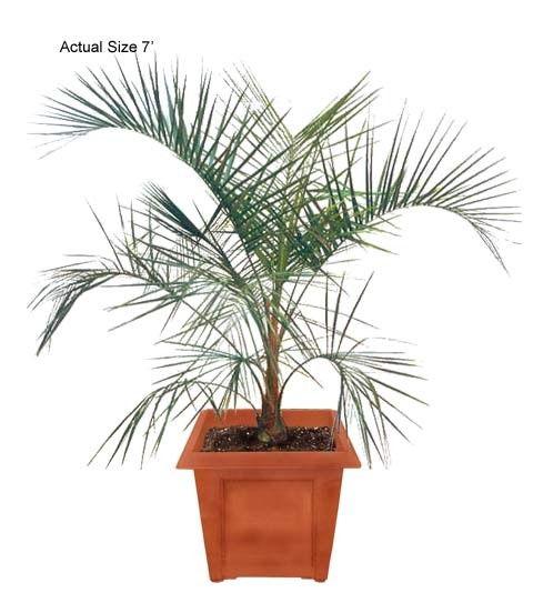 Buy cold hardy palm trees mule palm tree xbutyagrus nabbonnandi palm tree wholesale cold hardy - Hardy office plants ...