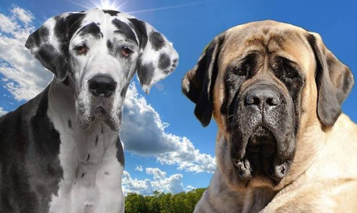 Largest dog breeds in the world