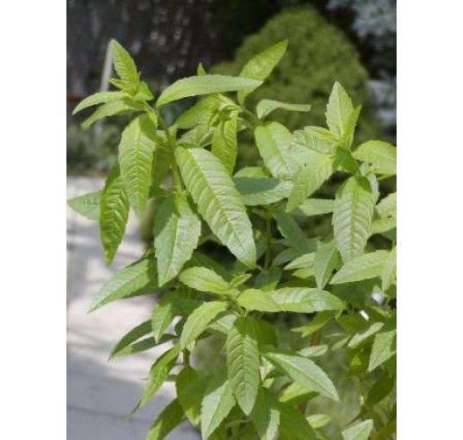 Lippia citriodora / Citrónová lípia / Citrónový ker, 15 - 20 cm, K7