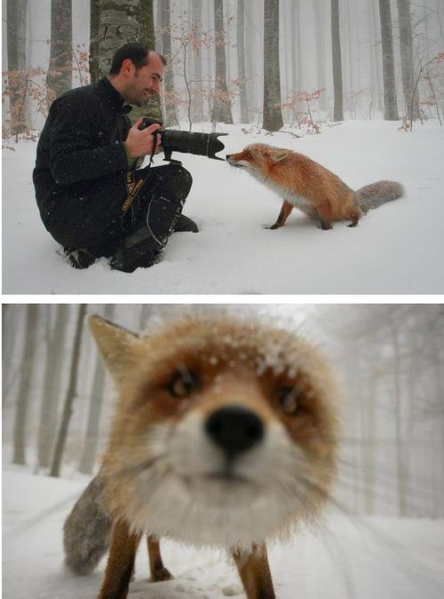 un renard