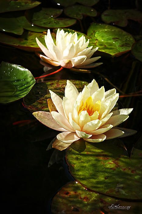 Summer Water Lilies                                                                                                                                                                                 More