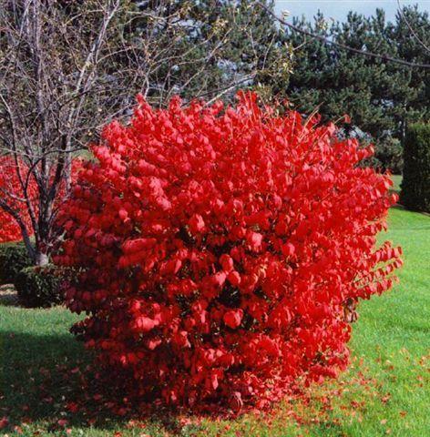Pin Od Agata Na Home Burning Bush Shrub Euonymus Alatus