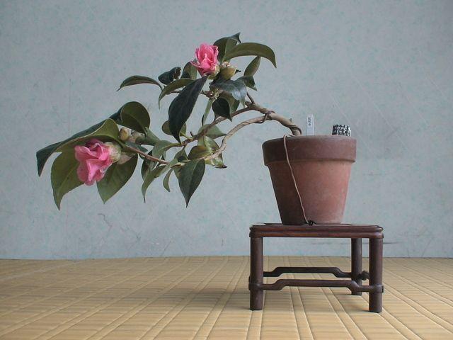 如月趣風・24 椿 ツバキ : 《 盆草遊楽 》
