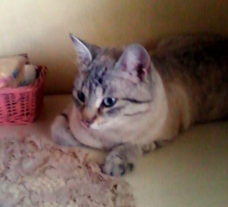 REGGIO EMILIA: SMARRITO MINI, GATTO INCROCIO SORIANO-SIAMESE http://terzobinario.blogspot.it/2014/06/reggio-emilia-smarrito-mini-gatto.html