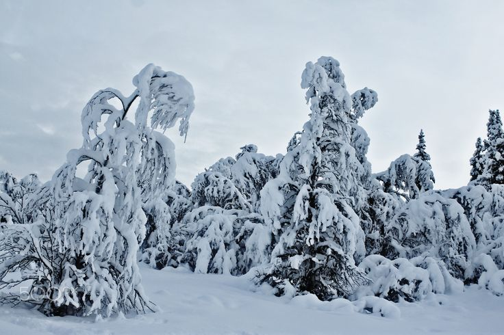 Trees covered in snow - Trees covered in heavy snow. What an interesting snow figure.