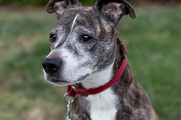 ... Whippet And Boxer Mix | Dogs | Pinterest | Boxer Mix, Boxers and