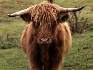 Scotland, Highland Cattle