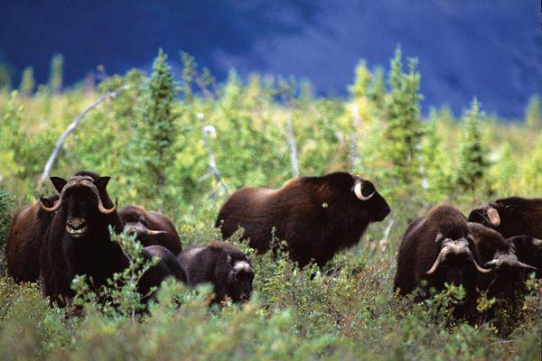 Wild muskox, Northwest Territories