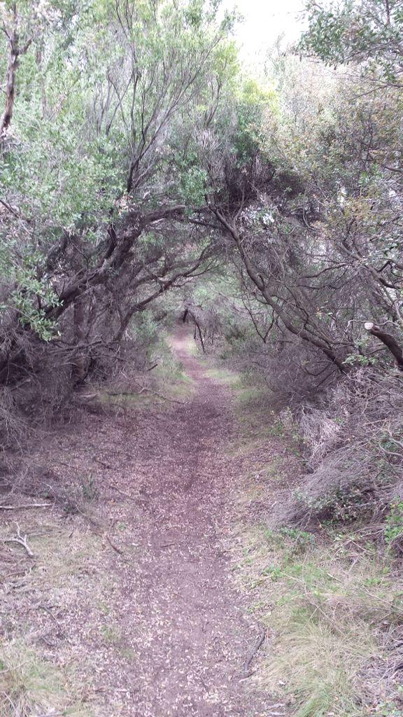 Bush track and tea trees