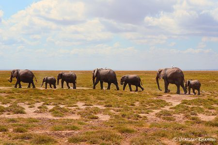 Above is a picture of a parade of elephants. These unique creatures are the largest land mammals on Earth! They make their homes mainly in sub-Sahara Africa and throughout the rain forest. They may be stereotypical to Africa, but they are a great symbol of the strength of this continent.
