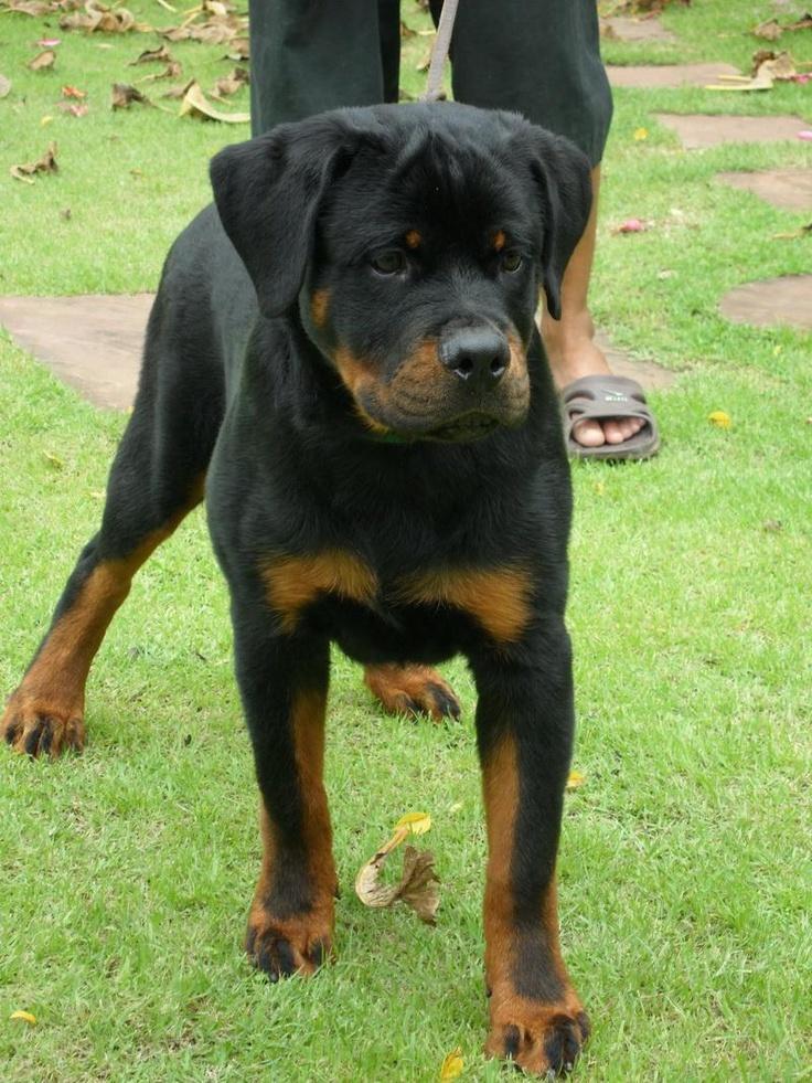 Rio Vom Kimlai Rottwei Rottweiler Dog Rottweiler For Sale Dogs