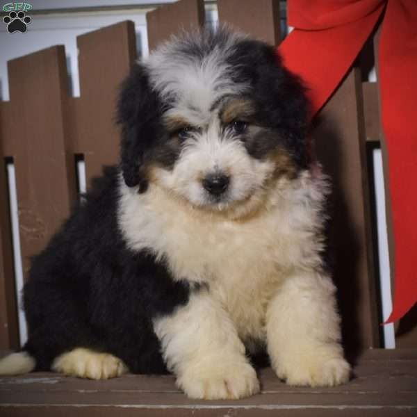 Bobby Mini Bernedoodle Puppy For Sale In Pennsylvania In 2020 Bernedoodle Puppy Puppies Mini Bernedoodle