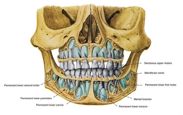 Dents Squelette Face  Ff  En Jpg  995 U00d7626