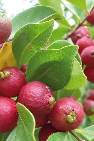 Guava Strawberry. Psidium littorale var. longipes The most forgiving of fruit trees tolerating dry conditions and even some shade but still rewarding the gardener with plenty of sweet wine red berries high in Vitamin C for fresh eating or jams. An ideal screening shrub or small tree with handsome caramel coloured bark and red and white fluffy flowers.