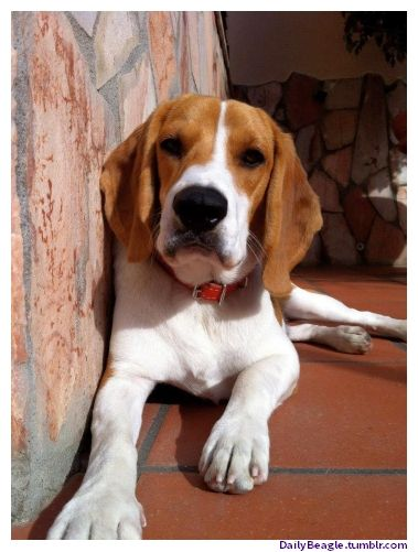 A Cute Beagle Dog