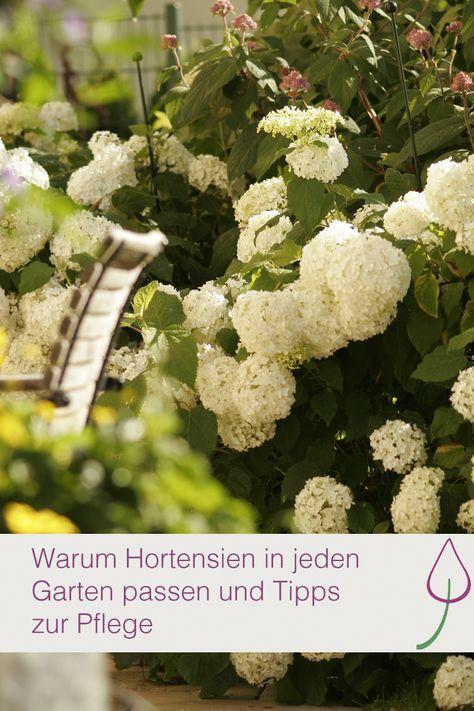 Pflege von Hortensien im Garten oder auf dem Balkon im Topf und wie sie am besten wirken.