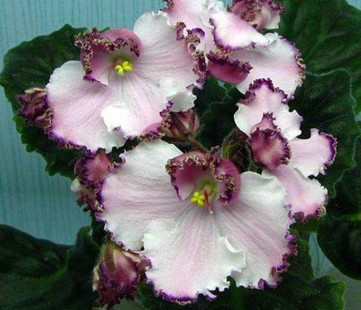 African Violet Saintpaulia LE Mont Saint Michel Plant Ukrainian Variety   eBay