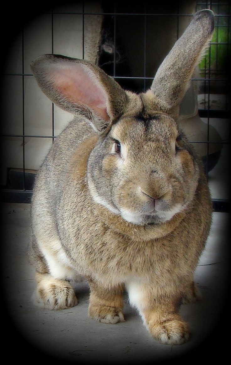 F Giant Rabbit Best 20+ Flemish giant...