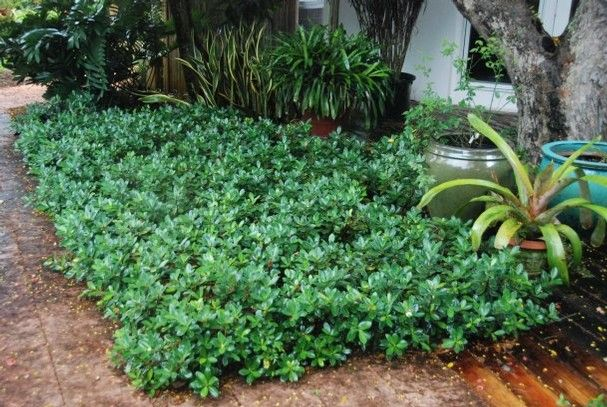 green island ficus michael spencer u0026 39 s make it green  get creative with groundcover