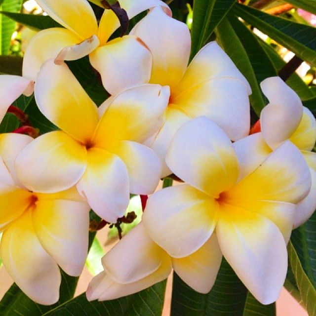 Happy Labor Day weekend! Looking forward to relaxing by these  #fragrant   #plumerias  still blooming in my  #garden