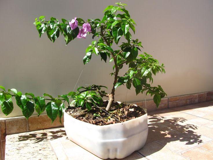 Bougainvillea glabra em treinamento para bonsai.
