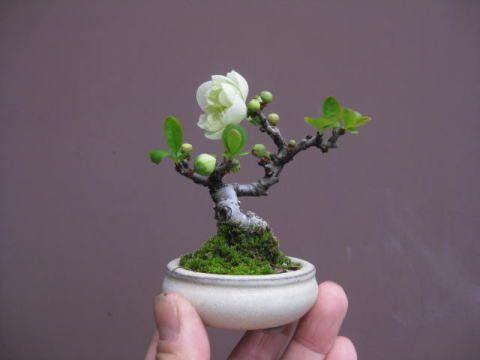 25 best ideas about mame bonsai on pinterest bonsai for Bonsai vendo