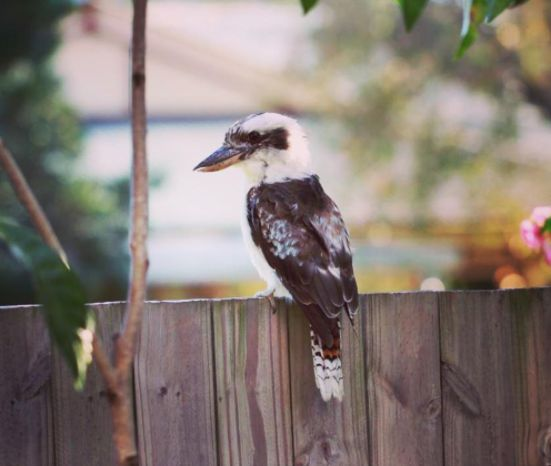 This Toowoomba resident is reminding you to buy your Cully Fest tickets before they're all gone! @angiewatts81 #cullyfest2017 #kookaburra