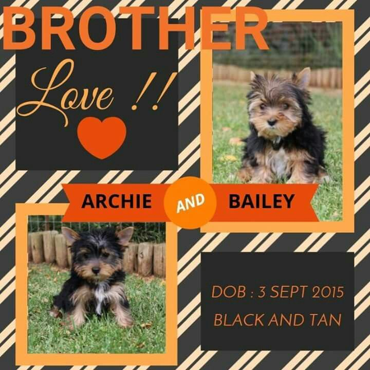 Traditional Black and Tan Males Available
