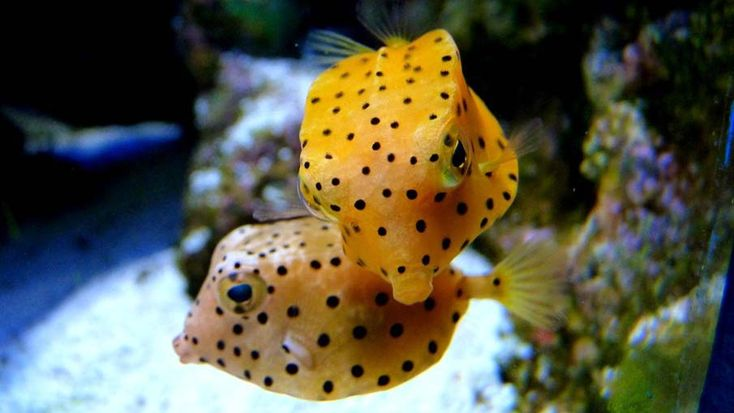 "Juvenile Trunkfish,often called ""SpongeBob"" by divers!   About the size of a pea,so cute!"