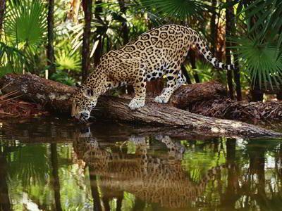 Dieren van het tropisch regenwoud van de amazone in Ecuador: Jaguar in het tropische regenwould