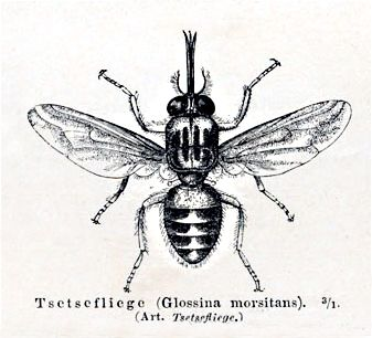 Wow, a real tsetse fly. Thank you Wikipedia. This is a big start! Of course you can guess that I'll be splitting boards again real soon.