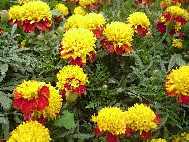 Какие растения защитят ваш сад и огород от вредителей | Дачники
