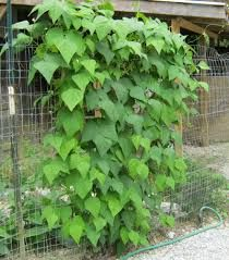 gard separator - fasole neagra - se impleteste cu trandafir - tomate si castraveti
