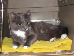 SQUIRREL is an adoptable Domestic Medium Hair - Gray And White Cat in Columbia, SC. I am a cute little grey and white tuxedo girl with a fluffy tail, about 9 months old, who was going to be taken to t...