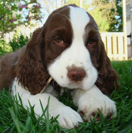 Springer puppy . . .isn't that face adorable?! . . . .chewing on a stick!