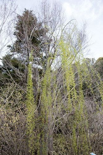 Salix babylonica f. rokkaku ロッカクヤナギ salixbabylonica ヤナギ科 salicaceae シダレヤナギに比して枝が特に長くて垂直に枝垂れ葉は線状披針形で葉身が枝とほぼ平行に垂れる flower plant