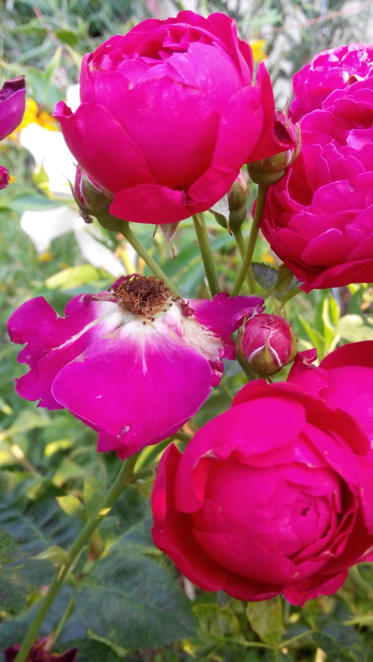 Róża peoniowa