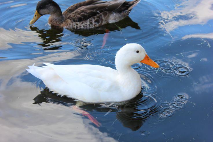 Shot of ducks in the vlei