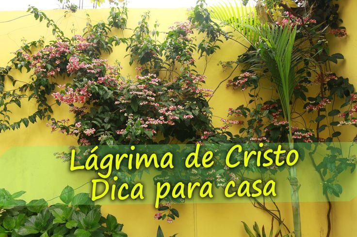 Muito florida encobre as paredes com uma grande beleza, vai a dica Lágrima de Cristo (Clerodendron thomsoniae) desculpe algumas falha nas palavras mas o impo...