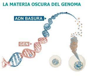 Los científicos descubren los secretos ocultos del ADN. El principal resultado de esta especie de Proyecto Genoma II es que lo que se consideraba basura no era tal. El 80% del genoma humano resulta tener al menos una función bioquímica en al menos algún tejido del cuerpo y en al menos alguna fase del desarrollo o de la vida adulta. Y nada menos que el 95% del genoma está implicado en la regulación de los genes convencionales.