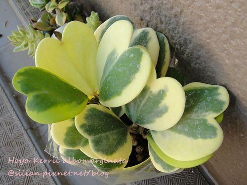 Hoya Kerrii albomarginata