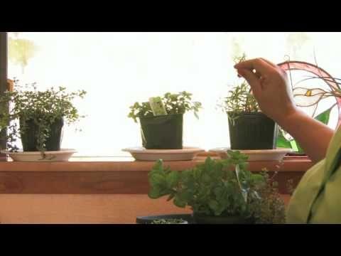 Growing Herbs : How to Grow an Herb Garden Indoors