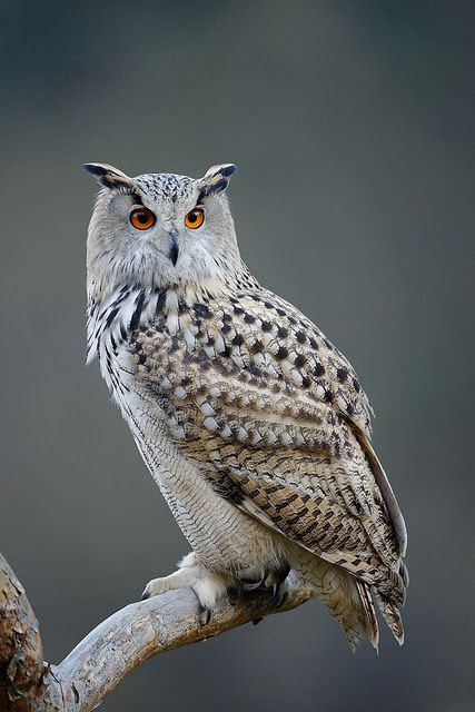 eurasian eagle owl - bubo bubo, is a species of eagle owl resident in much of eurasia.