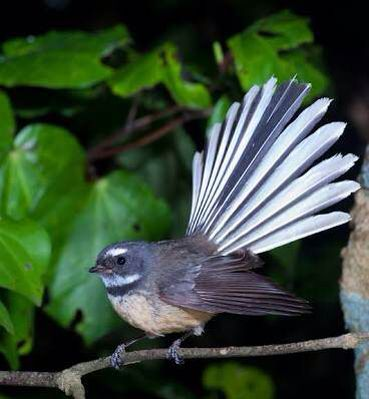A New Zealand Fantail