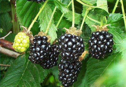 """How to grow Blackberries indoors... """"Container gardens work well in apartments and in other indoor locations, but some are more difficult than others"""" Read more: How to Grow Blackberries Indoors 