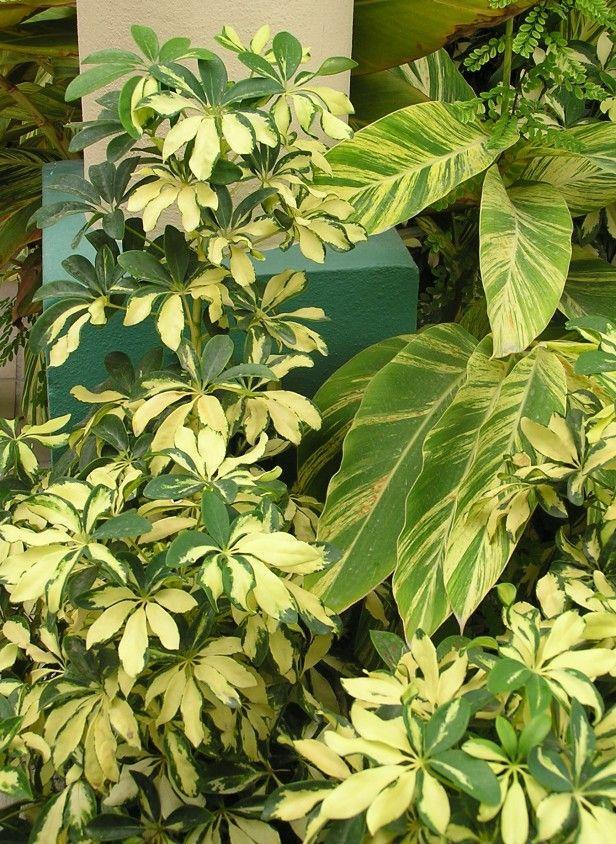 Dwarf Shefflera-Dwarf Shefflera The leathery-leaf dwarf Shefflera arbicola tolerates very low humidity, and comes in green or variegated forms.