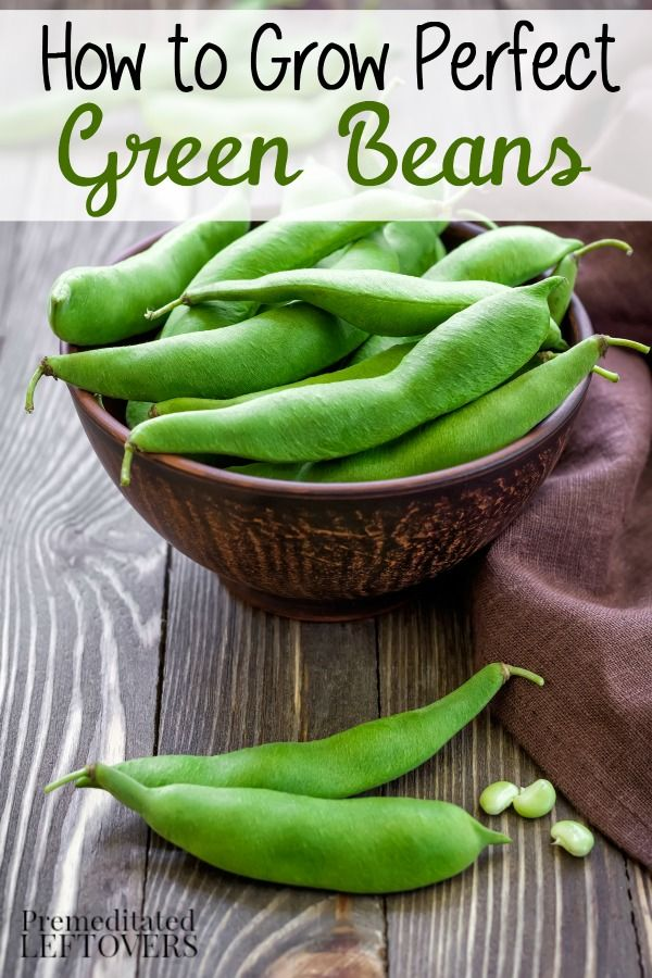 How to Grow Green Beans, including how to plant green bean seeds, how to transplant and care for green bean seedlings in your garden, and how to harvest green beans.