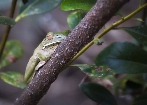 White-lipped Tree Frog - Daintree River