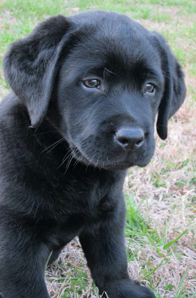 Hank the Tank... English Lab puppies are the cutest
