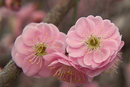 Prunus mume - Wikipedia
